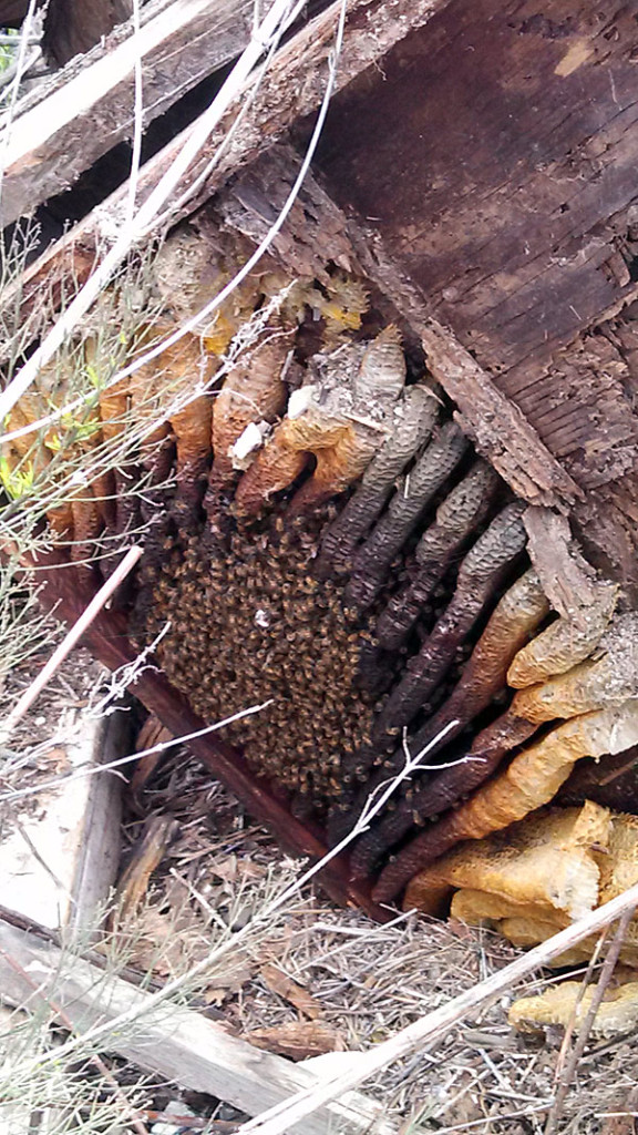 Bees-under-floor-of--storage-shed