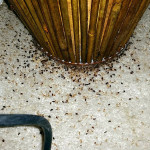Dead-Bedbugs-during-treatment